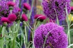 paarse-sierui